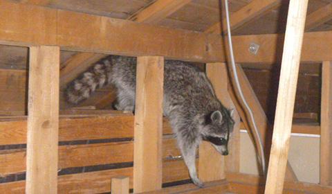 屋根裏で生活するアライグマの様子