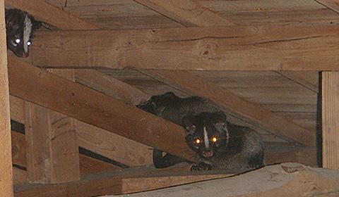 天井裏に棲みついて夜な夜な走り回るハクビシン達。